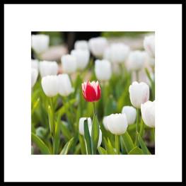 "Nielsen Gerahmtes Bild ""Tulpe"" 50,0 x 50,0 cm"